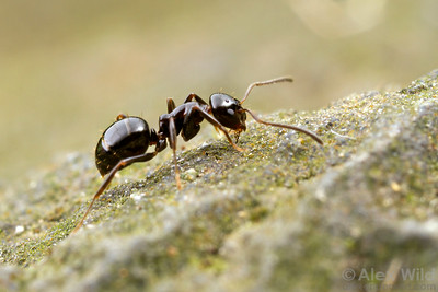 A Prolasius forager searches for food.  Diamond Creek, Victoria, Australia