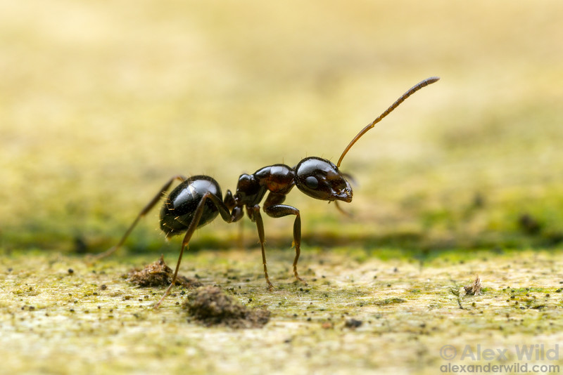 Prolasius sp.