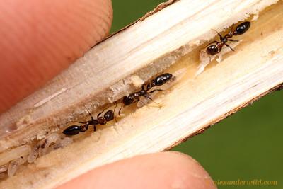 Pseudomyrmex ejectus
