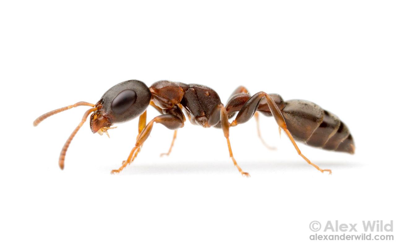 Pseudomyrmex phyllophilus