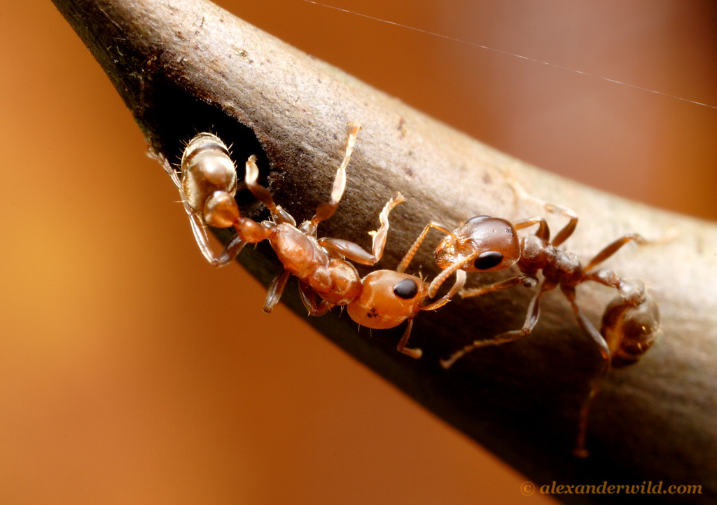 Friend or Foe? Two Pseudomyrmex spinicola acacia ant nestmates evaluate each other at the nest entrance.   Panama City, Panama