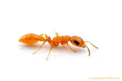 Pseudomyrmex pallidus