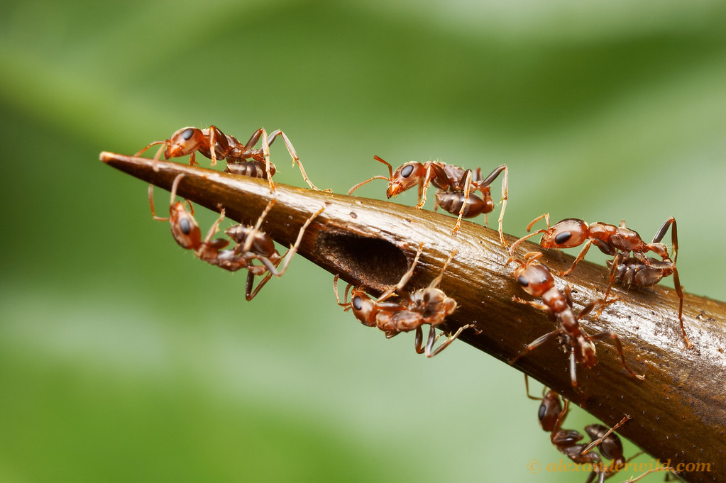 Not all of the thorns on a swollen-thorn Acacia house the ants' larvae, but those that do are heavily guarded.  Here, Pseudomyrmex spinicola patrol a nest entrance, ready to use their stings if the photographer approaches too close.    Chiriqui, Panama.
