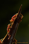 Pseudomyrmex spinicola acacia ants guarding a nest entrance.  This species has a painful sting and a much more aggressive temperment than most other Pseudomyrmex, an effective deterrent to l ...