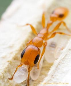Pseudomyrmex simplex
