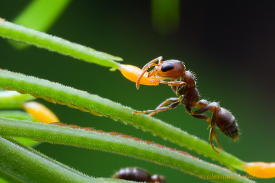 Pseudomyrmex peperi is an obligate Acacia inhabitant. Here, a worker gathers a lipid-rich Beltian body from a leaf tip. The plant feeds the ants in exchange for protection from herbivores and competing plants.  Armenia, Belize