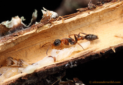 Breaking open a hollow twig in the Florida scrub reveals a nest of the twig ant Pseudomyrmex gracilis.  Archbold Biological Station, Florida, USA