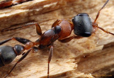 Pseudomyrmex gracilis is a large, active, and alert ant found from the southern United States to northern Argentina.  Archbold Biological Station, Florida, USA