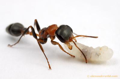 Pseudomyrmex gracilis