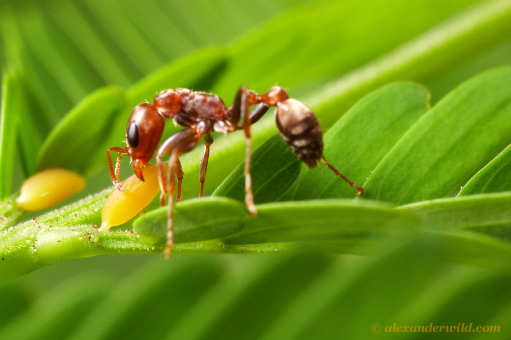 In exchange for protection, swollen-thorn Acacia trees provide Pseudomyrmex ants with food and shelter.  Here an ant harvests a protein-rich food body that will be fed to the ants' larvae. (Pseudomyrmex spinicola)  Chiriqui, Panama