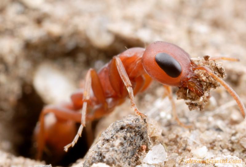 Pseudomyrmex denticollis