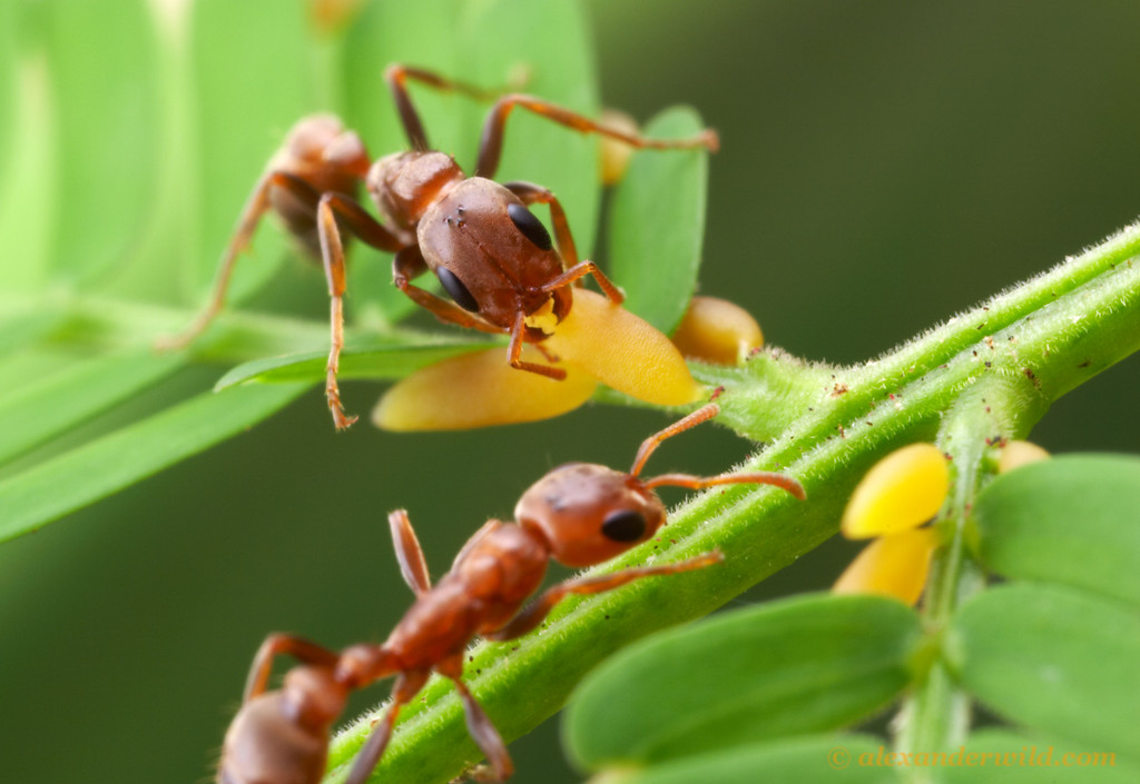Pseudomyrmex spinicola workers harvest Beltian bodies on an Acacia tree. The tree and the ant are locked into relationship where the survival of both partners depends on the other.  The ants provide the Acacia with protection from herbivores and from competing plants, while the tree provides the ants with food and shelter.  