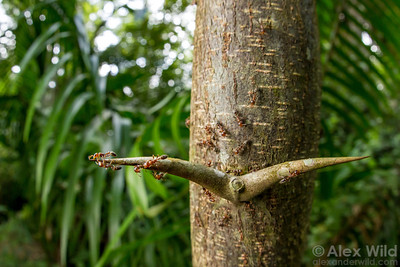 Swollen thorn acacia with Pseudomyrmex peperi