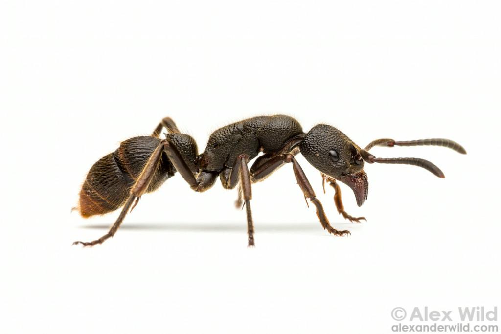 Pseudoneoponera tridentata
