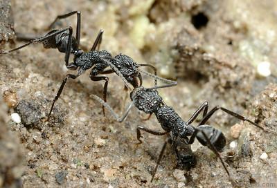 Rhytidoponera sp.  Iron Range National Park, Queensland, Australia
