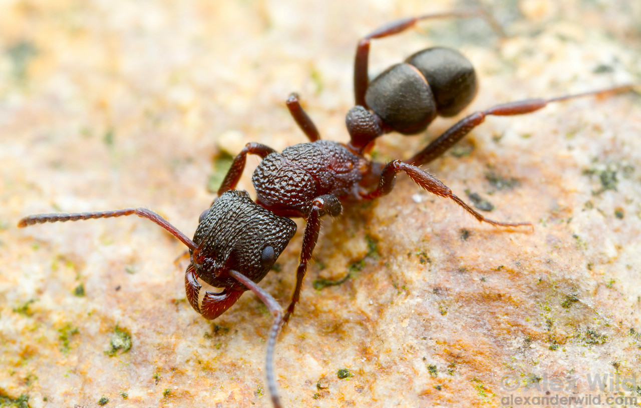 Rhytidoponera sp. worker. Insects of this genus are among the most common ants on the Australian continent.  Yandoit, Victoria, Australia