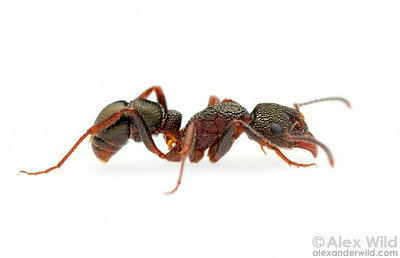 Rhytidoponera sp. worker ant.  Yandoit, Victoria, Australia
