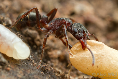 A Rhytidoponera worker carries a cocoon.  Yandoit, Victoria, Australia