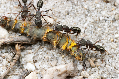 Rhytidoponera ants cooperate to carry a dead caterpillar back to their nest.  Wilson's Promontory National Park, Victoria, Australia