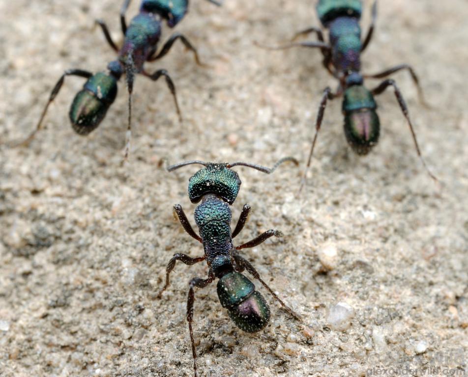 A trio of Rhytidoponera metallica workers.  Brisbane, Queensland, Australia