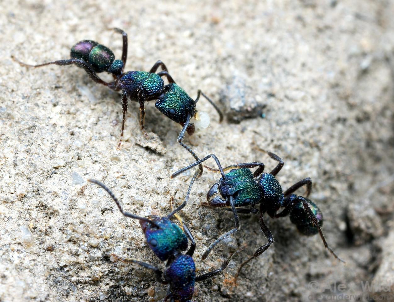 The green-headed ant Rhytidoponera metallica is a common soil-nesting ant in urban areas throughout Australia.   Brisbane, Queensland, Australia