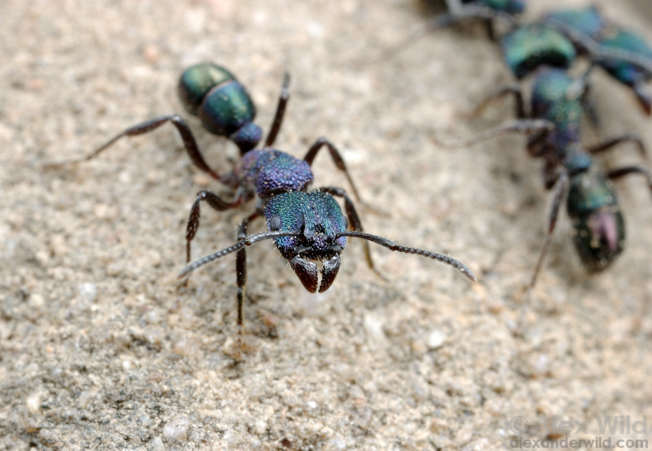 The greenheaded ant, Rhytidoponera metallica is capable of inflicting a very painful sting.  Brisbane, Queensland, Australia