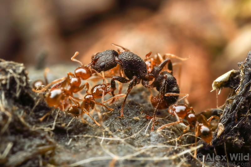 Rhytidoponera victoriae & Pheidole sp.