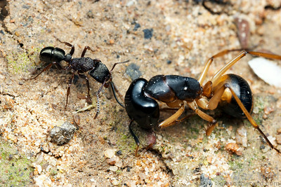 Ants will not often consume dead ants of their own species, but they may readily take ant carcasses of other species.  Here a Rhytidoponera worker has found the carcass of a large Camponotus and is dragging it back to her nest where it will be fed to hungry larvae.  Yandoit, Victoria, Australia