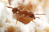 Sericomyrmex : Sericomyrmex is a small genus of fungus-growing ants found in the New World tropics.  These insects are close relatives of Trachymyrmex but tend to have a denser covering of fine hairs on the body.  Colonies of Sericomyrmex can be relatively large, with more than a thousand individuals.