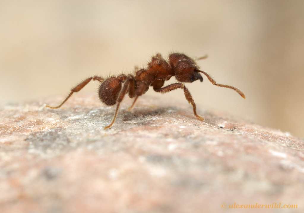 Sericomyrmex amabilis  Parque Soberania, Panama; Laboratory colony at the University of Texas