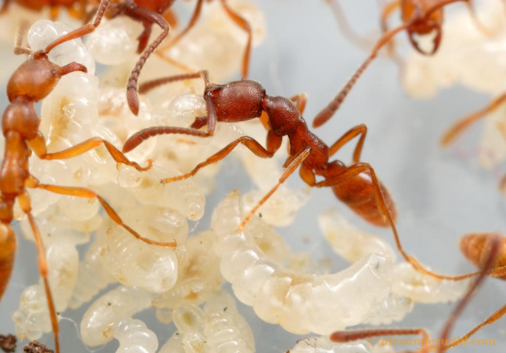 Simopelta sp. nr. pergandei worker and larvae in a laboratory colony.   Parque Nacional Henri Pittier, Venezuela