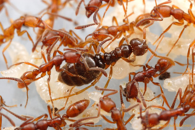 """Simopelta sp. nr. pergandei, queen with brood.  Although unrelated to the more """"classic"""" army ants, the queens of both groups are wingless and similar in form.  Parque Nacional Henri Pittier, Venezuela"""