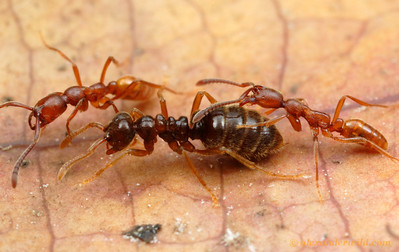 A Simopelta queen with attendant workers running in a column.  Her abdomen apparently exudes an attractant that keeps the attention of the following ant whose mouthparts are held open above abdominal segment 4.     Parque Nacional Henri Pittier, Venezuela