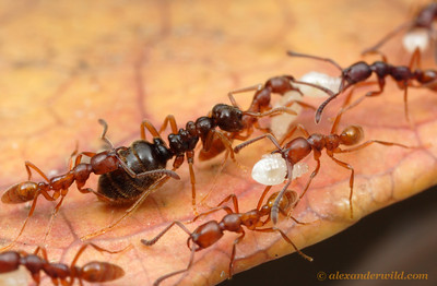 Simopelta sp. nr. pergandei. One of the most remarkable examples of evolutionary convergence in ants involves the ponerine genus Simopelta and the true army ants (subfamilies Ecitoninae, Aenictinae, and Dorylinae).  Both groups are specialized predators of other ants, and their queens have a similar morphology.    Parque Nacional Henri Pittier, Venezuela