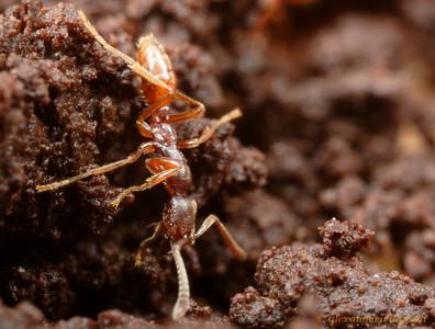 Simopelta sp. nr. pergandei worker foraging in soil.  Parque Nacional Henri Pittier, Venezuela