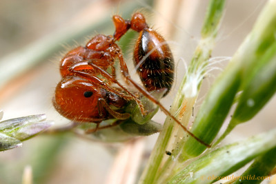 A native fire ant Solenopsis xyloni harvests a grass seed.  Fire ants are occasional granivores.  Tucson, Arizona, USA