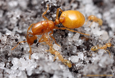 Solenopsis pergandei queen and workers.  The workers spend their entire lives underground and are nearly blind, but the queen's large eyes are used early in her life when she disperses from her natal nest to start a new colony.  Archbold Biological Station, Florida, USA