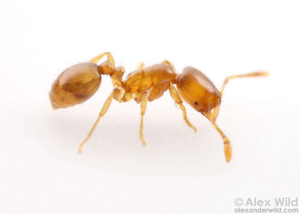 Solenopsis molesta - thief ant. At only a couple millimeters long, this is one of the smallest ants in North America.  Urbana, Illinois, USA
