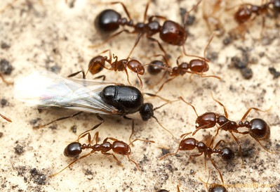 Solenopsis invicta, a fire ant male runs in a column of workers.  Austin, Texas, USA