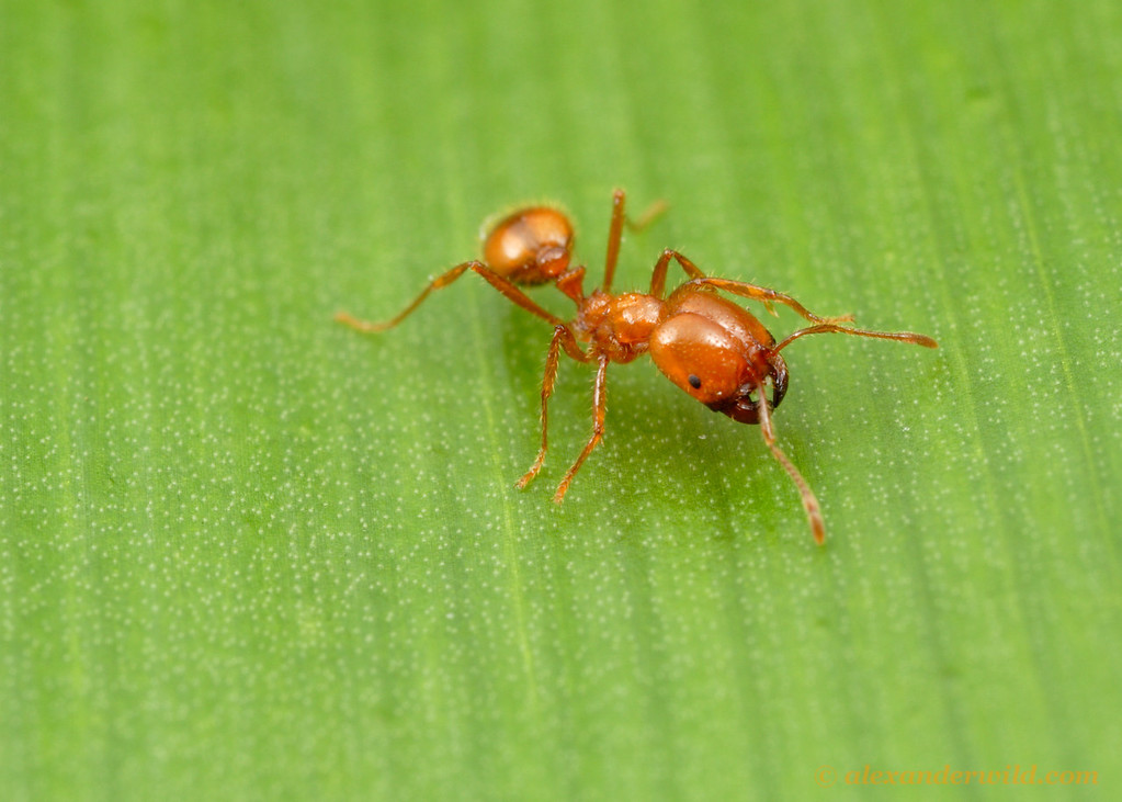Solenopsis geminata, a fire ant native to Central America and the southern United States, has become an invasive pest in tropical regions worldwide.  Durban, South Africa