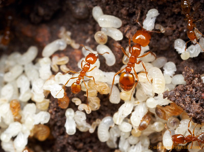 Inside the brood nest of Solenopsis amblychila, a fire ant native to the southwestern United States.  Chiricahua Mountains, Arizona, USA