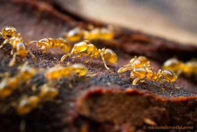 Solenopsis carolinensis thief ants. These insects- at 2mm in length- are so small as to be translucent.  Gainesville, Florida, USA