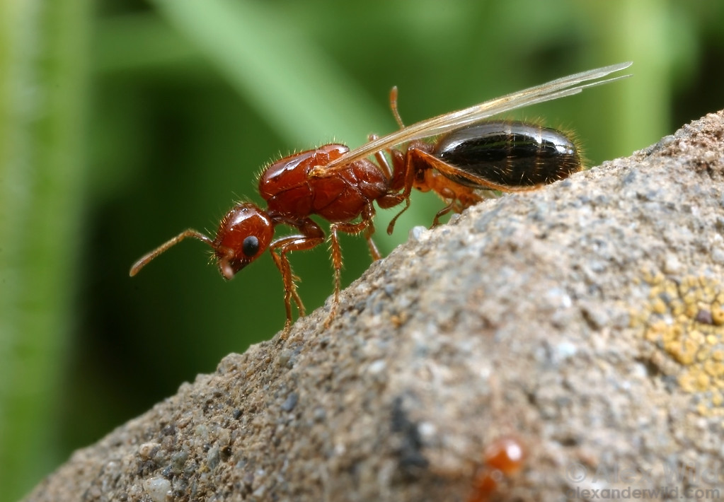 A young Solenopsis xyloni queen prepares to take flight.  Stebbins Cold Canyon Reserve, California, USA