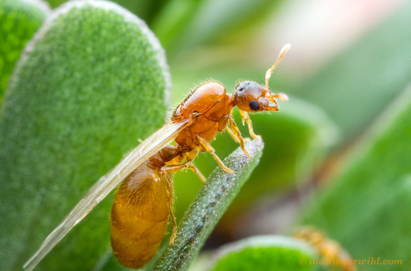 A young queen thief ant, Solenopsis molesta, perches on a leaf prior to taking off on an evening mating flight.  Urbana, Illinois, USA