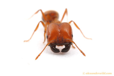 Solenopsis geminata- tropical fire ant, major worker.  Durban, South Africa