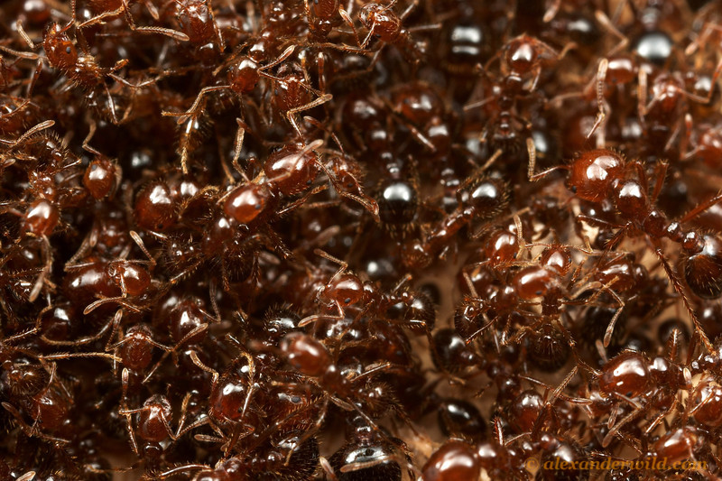 Solenopsis invicta, red imported fire ants  Austin, Texas, USA