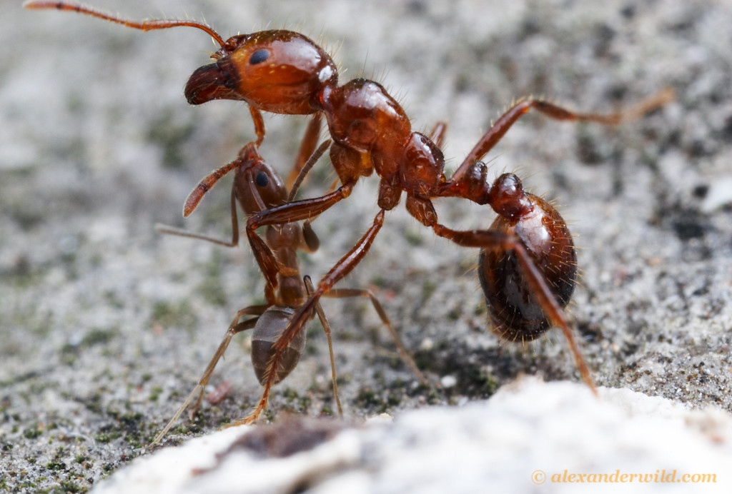 An Argentine ant (Linepithema humile) attacks a much larger fire ant (Solenopsis invicta).  Both species co-exist naturally in subtropical South America, but in the southern United States where both have been accidentally introduced, the fire ant has displaced the Argentine ants.  Austin, Texas, USA
