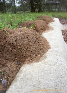 A series of fire ant (Solenopsis invicta) nests along a curb.  Austin, Texas, USA