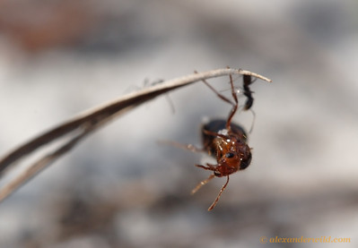 Life is perilous for young queens.  This fire ant queen (Solenopsis invicta) is being pursued by native Forelius ants, as she would make an excellent source of protein to feed the Forelius larvae.  She frantically climbs a grass blade to escape, but to no avail.  Archbold Biological Station, Florida, USA