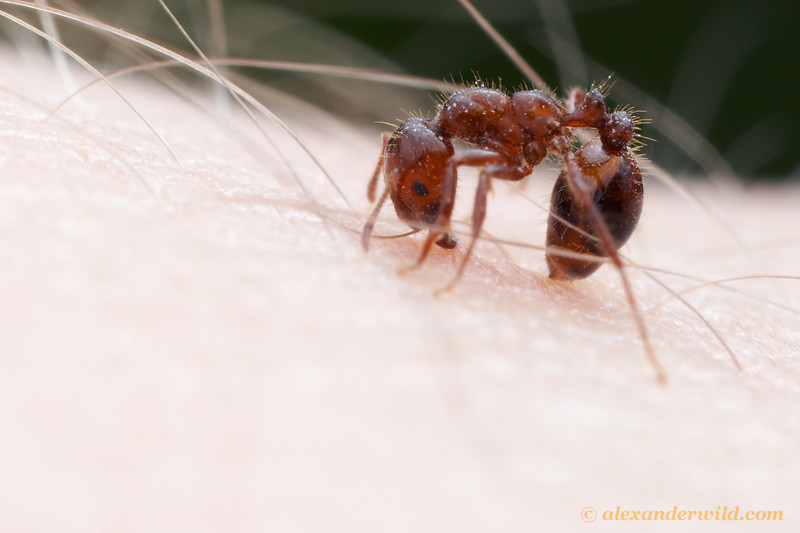 Her nest attacked by an overzealous photographer, a fire ant (Solenopsis invicta) stings in defense.  Austin, Texas, USA